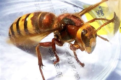 Killer Asian hornets summer invasion as thirsty insects