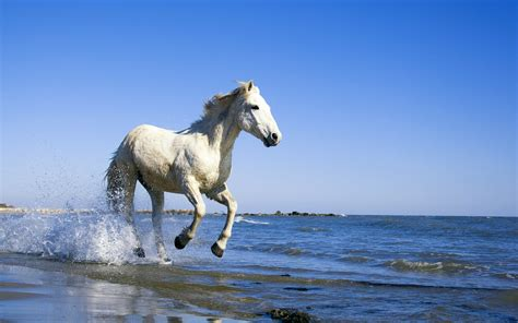 Camargue White Horse Wallpapers | HD Wallpapers | ID #10476