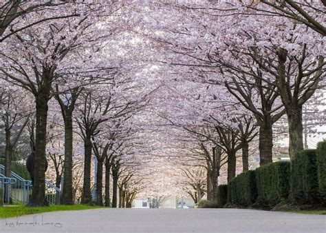 A Guide to Vancouver's Cherry Blossoms